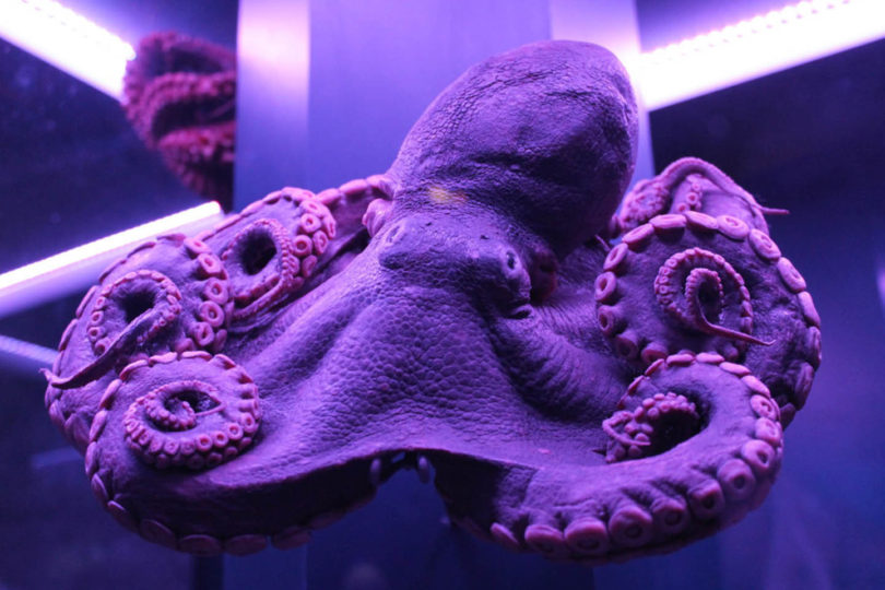 An octopus at The Sea Creatures exhibtion which is coming to Harrogate Convention Centre